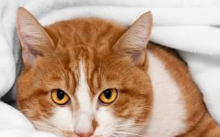 Вирусный конъюнктивит у кошки лечение