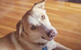 У собаки болит ухо и гноятся глаза