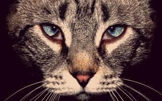 Блефарит у кошек чем лечить в домашних условиях