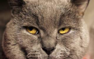 Что делать если у кошки болит глаз и слезится?