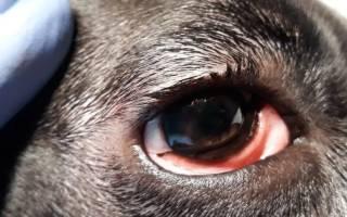 Конъюнктивит у щенка немецкой овчарки