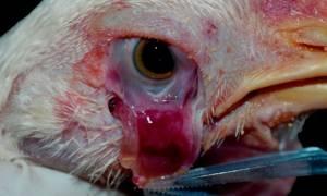 У цыплят болят глаза что делать