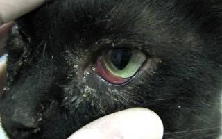 Если у кота болит глаз чем лечить