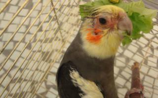 У попугая болит глаз и вокруг зрачка
