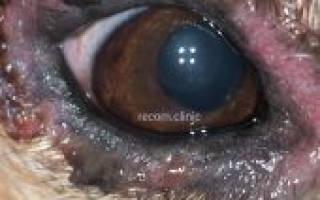 Демодекозный блефарит у собак лечение