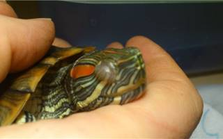 Что делать если у красноухой черепахи болят глаза?