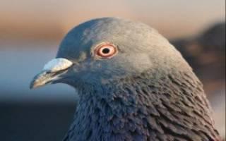 Как лечить конъюнктивит у голубей?