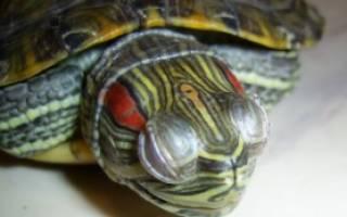 Как лечить конъюнктивит у черепахи в домашних условиях?